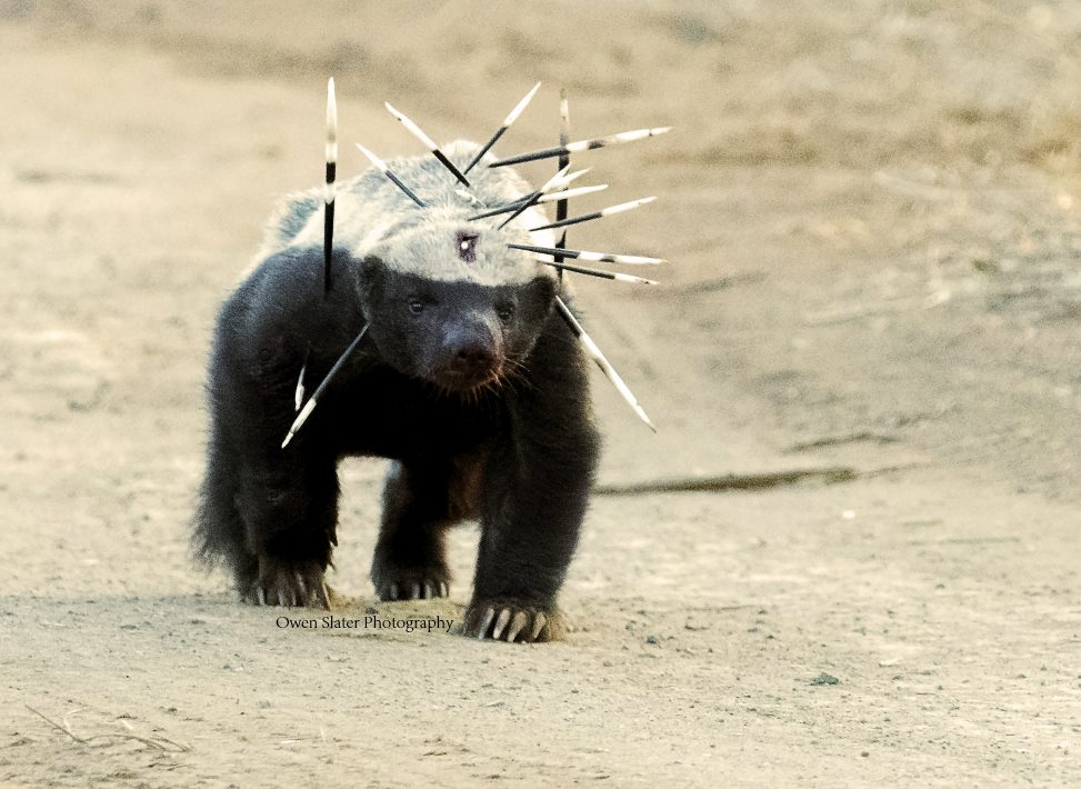 Walking Through Life with the Confidence of a Honey Badger